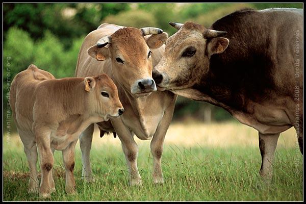 Insolite: Des bovins abattus sur leur pâturage