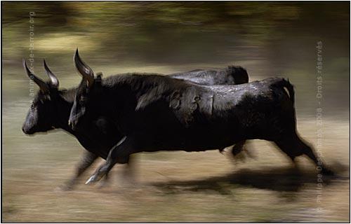 http://www.animaux-de-terroir.org/uploads/images/galerie/photo-taureau-camargue-toro-v.jpg